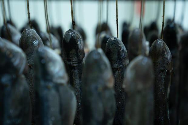 Pe un căruț cu pește încap peste 100 de păstrăvi.