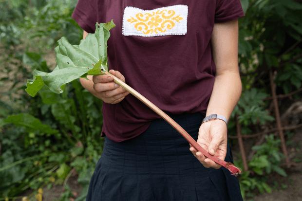 brațe de femeie ținând o frunză de rubarbă