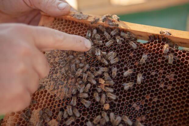 deget arată spre o ramă plină de albine