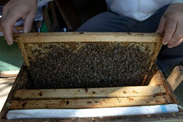 bărbat ridică o ramă stupină plină de albine