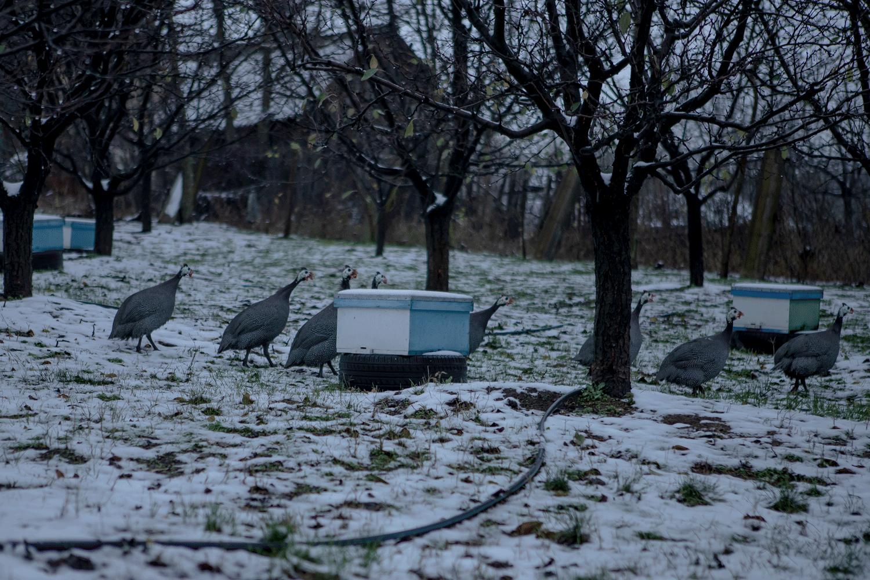 bibilici în curte, plimbându-se printre cutiile cu stupi