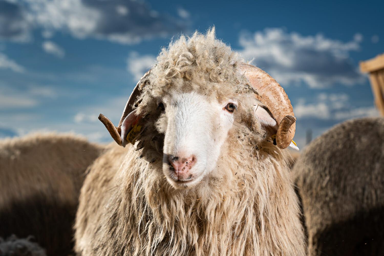 Un berbec supraviețuitor la ferma din Periș