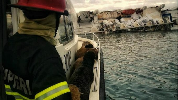Operațiunea de salvare a oilor de pe navă