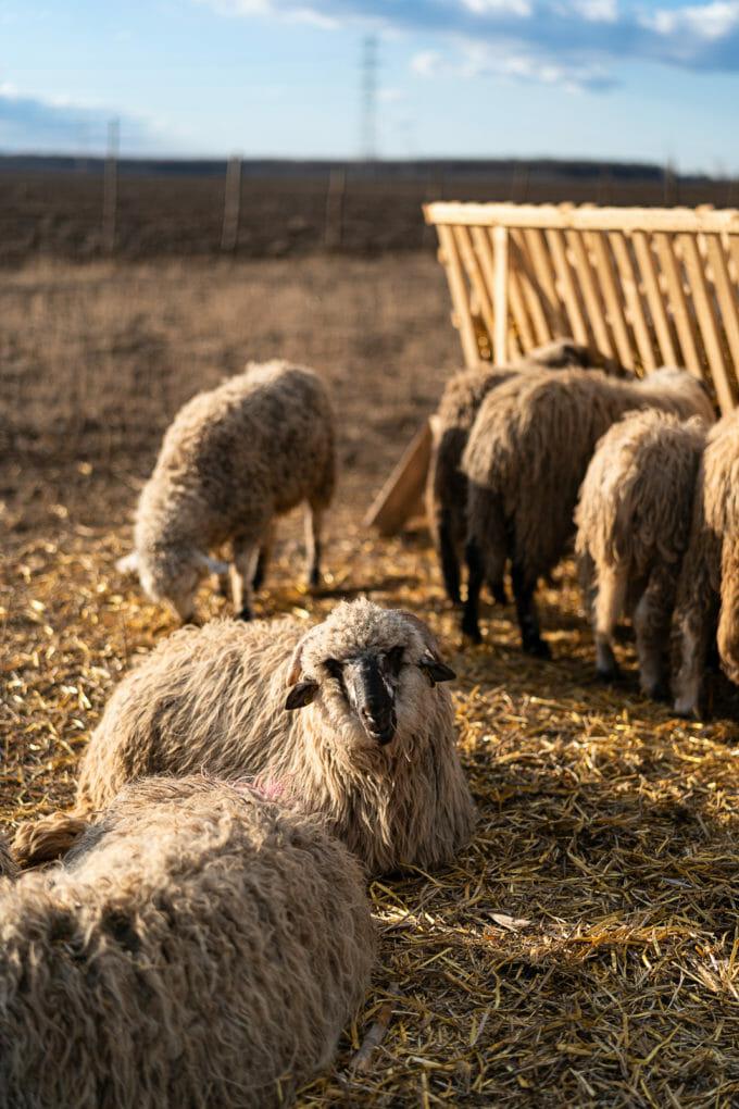 Berbecii supraviețuitori la ferma din Periș