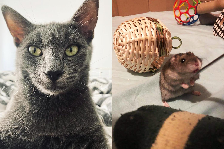 colaj cu pisică și hamster
