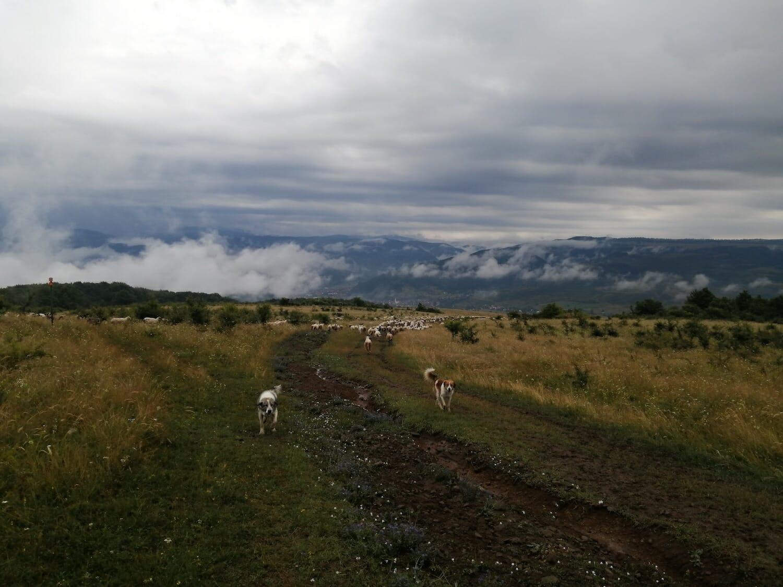 Doi câini păzesc o turmă de oi